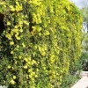 Cats Claw Creeper Added<br /> To National Weeds List