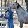 Hendra Vaccine 'Not Compulsory'