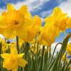 Daffodil Day Lunch This Friday