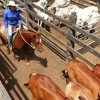 600 Cattle Yarded At Murgon
