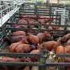 Cattle Numbers Up At Murgon