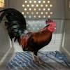 RSPCA Raids Target Cockfighting