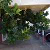 Gone But Not Forgotten … Farewell Ficus!
