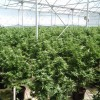 Police Seize 11,795 Cannabis Plants