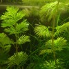 Invasive Water Weed Found In Region