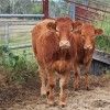 Murgon Cattle Sale Draws 980 Head