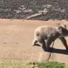 Koala Takes It To The Streets