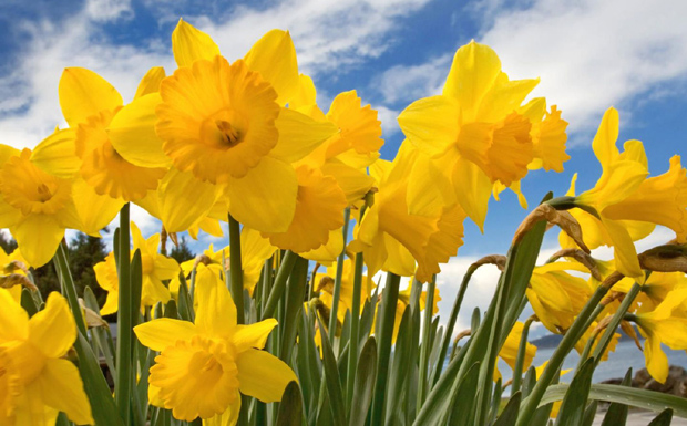 daffodil day - photo #27