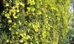 Cats Claw Creeper Added<br> To National Weeds List