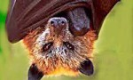Don't Touch A Dead Or Dying Bat