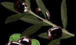 A Taste For Olives