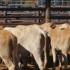 Heavy Export Cattle Dearer At Sale