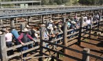 Cattle Sale Notches Up $1m
