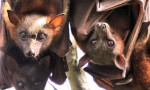 Flying Foxes 'Not A Health Risk'