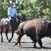 Bison Beef Up Campdraft Training