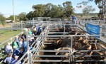 Export Cattle Prices Up