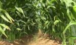 Input Sought On GMO Corn