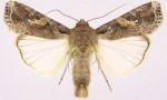 Fall Armyworm Moves Southwards