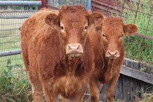 South Burnett cattle