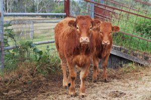 AgForce Calls For Action On Q Fever