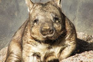 Rare Wombats Seek A Home