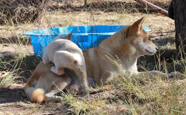 Dingo Simon