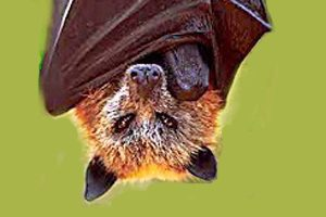 Bat Tests Positive To Deadly Disease