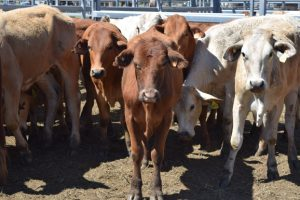 Good Prices At Weaner Sale