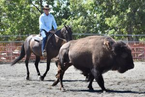 Bison Beef Up Campdraft Training