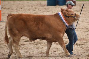 New Direction For Ekka Led Steers