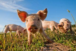 Online Survey For Pork Producers