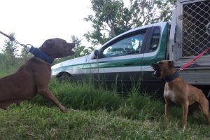 Man Jailed On Dog Fight Charge
