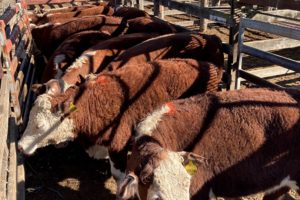 Cattle Market Stays Strong