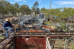 Export Cattle Stay Strong