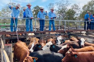 Export Cattle Hit New Heights