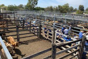 Rain Assists Cattle Sale