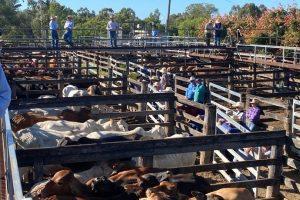 Store Cattle Prices Stay Firm