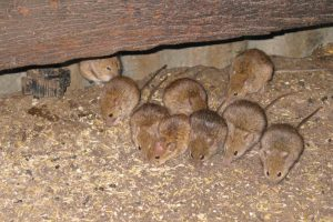 Lepto Rise Linked To Mice
