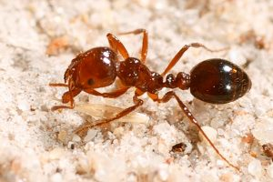 Fernvale Added To Fire Ant Zone