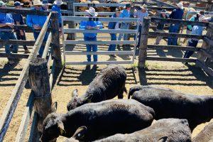 Heavy Bulls Top $3350 At Murgon