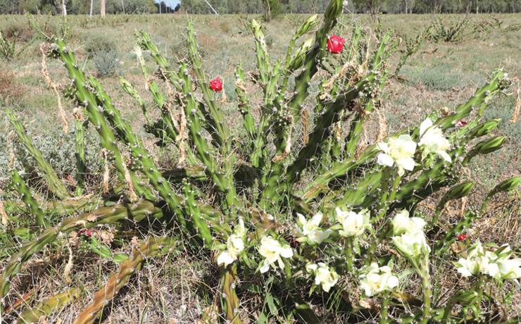 Invasive Cactus Found At Ballogie